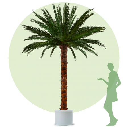 Areca Palm - XL - 3,5m height